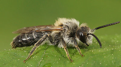 Andrena barbilabris, male