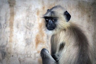 Lovely langur monkey against a weathered wall, Ajaypal, Rajasthan, India
