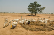 people collect water and bring cattle to a well in the sahel region of the Senegal river, Senegal