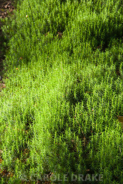 Moss, Polytrichum formosum, in the woodland garden. Windy Hall, Windermere, Cumbria, UK