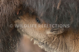 bison_calf_nursing_closeup