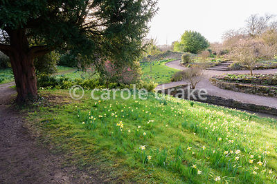 Sloping bank covered with naturalised daffodils at Hodsock Priory, Blyth, Notts