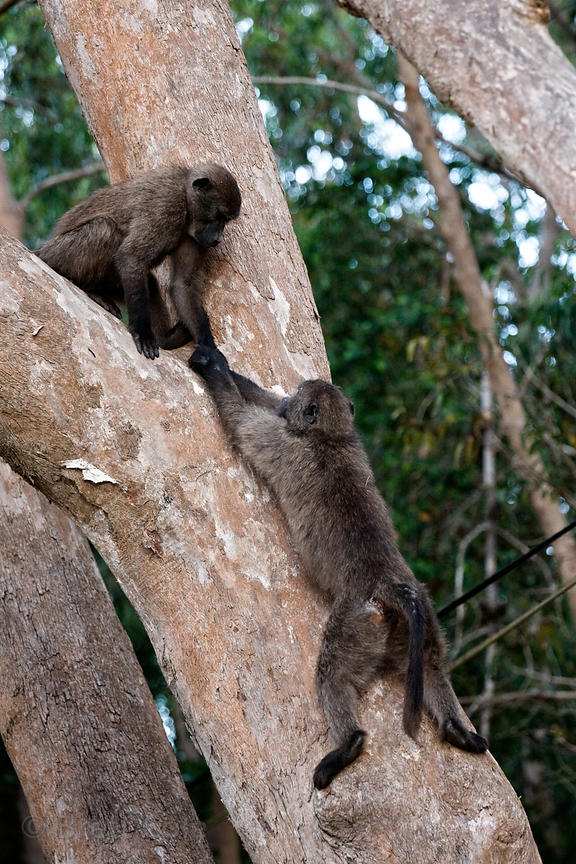 Two juvenile chacma baboons from the Plateau Road troop play in a tree, with one apparently helping keep the other from falli...