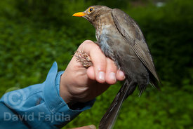 Female of common blackbird (Turdus merula) ready to be ringed during a BioBlitz in Ter river (riu Ter)