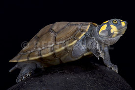 Yellow-spotted river turtle (Podocnemis unifilis)