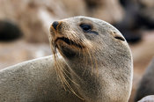 The Cape fur seal (Arcocephalus pusillus pusillus) is endemic to Southern Africa. Cape Cross, Skeleton Coast, Namibia