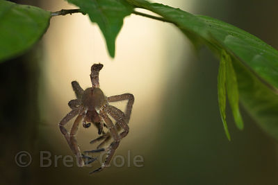 Spider exoskeleton in forest along the Tambopata River, Peruvian Amazon