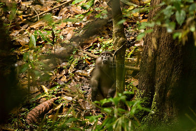 Tonkean Macaque (Macaca tonkeana) looking up from forest floor. Sulawesi, Indonesia.