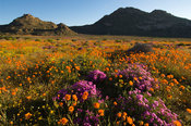Spring flowers in Goegap Nature Reserve, Springbok, Namaqualand, South Africa