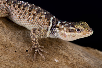 Blue spiny lizard (Sceloporus serrifer cyanogenys)