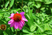 Flower Stock Photos: Pink Coneflower