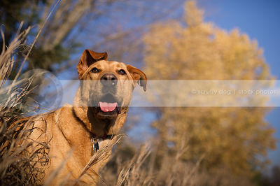 red mixed breed dog in dried grasses with trees and sunshine