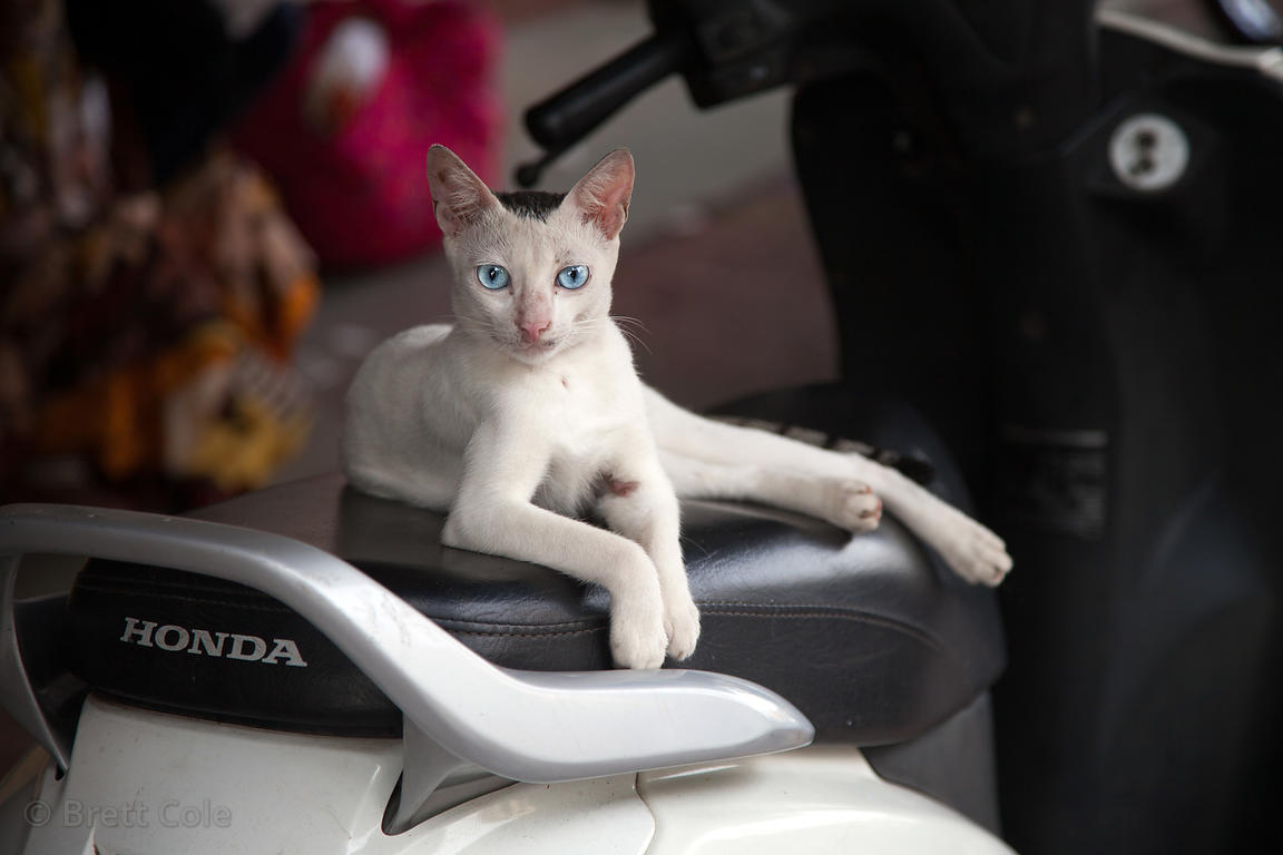 A beautiful blue-eyed stray cat, with what looks to be Egyptian bloodlines, rests on a scooter seat near Churchgate train sta...