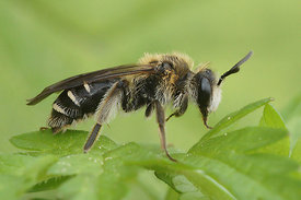 Andrena proxima, female