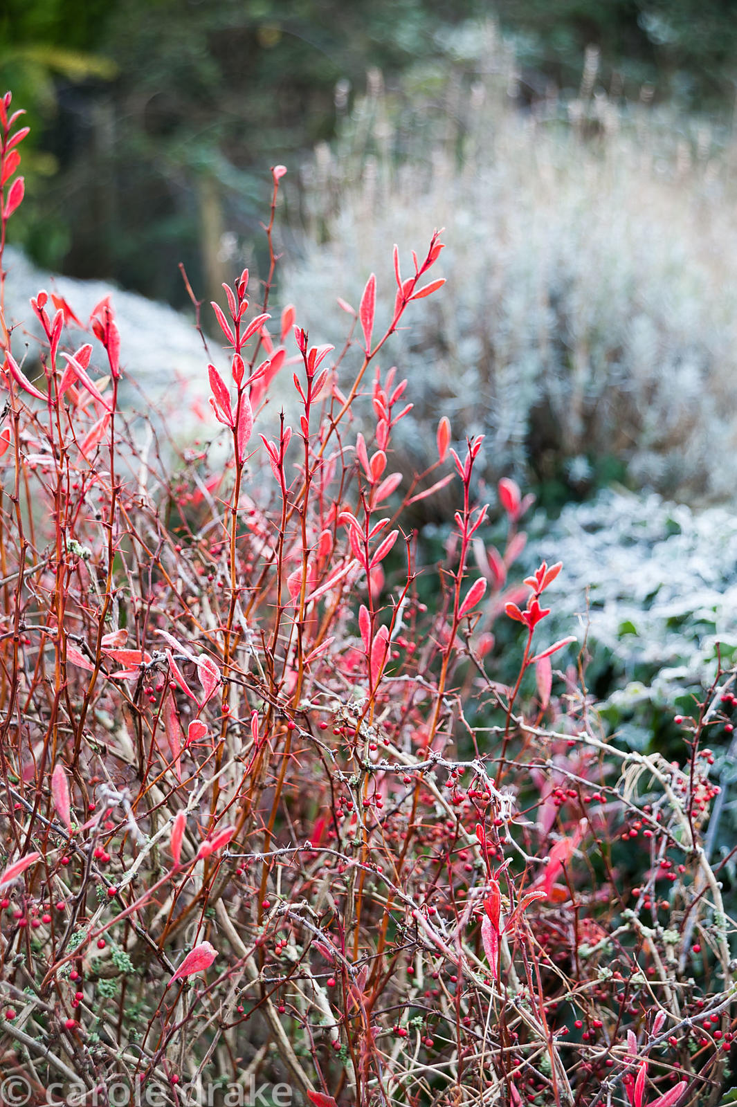 Scarlet berberis in front of frosty ivy on low wall.