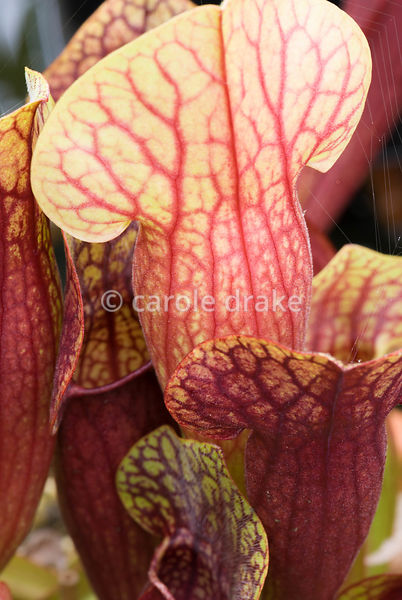 Deep red veining of Sarracenia x catesbyi, a short form of the north American Pitcher Plant. Hewitt-Cooper Carnivorous Plants...