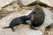 The Cape fur seal (Arcocephalus pusillus pusillus) is endemic to Southern Africa. Pup suckling. Cape Cross, Skeleton Coast, N...