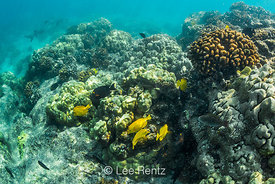 Whitetip Reef Shark and Yellow Tang along Coral Reef off Big Island of Hawaii