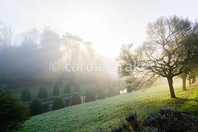Morning sun breaks through tall pines to the east of the Canal Garden at Mapperton, Dorset in winter illuminating clipped yew...