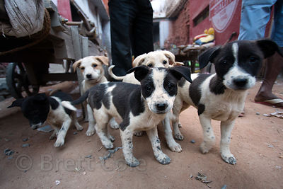 Street dog puppies at a construction site in Paharganj, Delhi, India