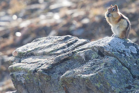 December - Golden-mantled Ground Squirrel