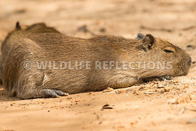 capybara_beach_rest_close-3