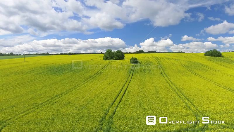 Rapeseed Agriculture in Yellow Bloom Estonia