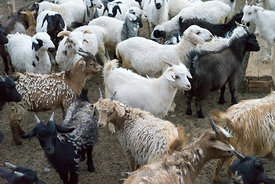 Sheep and goats in Mongolia.