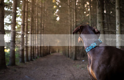 brown and tan doberman dog looking away in forest of pine trees