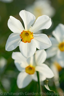 Narcissus 'Seagull'. © Jo Whitworth
