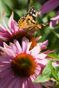 Echinacea with Painted Lady butterfly, Vanessa cardui. Sir Harold Hillier Gardens/Hampshire County Council, Romsey, Hants, UK