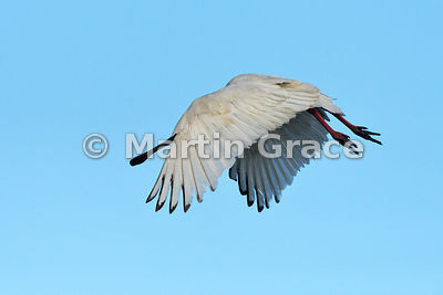 African Spoonbill (Platalea alba) in flight, River Chobe, Botswana: Image 1 of 3 to show the wings of the male in different p...
