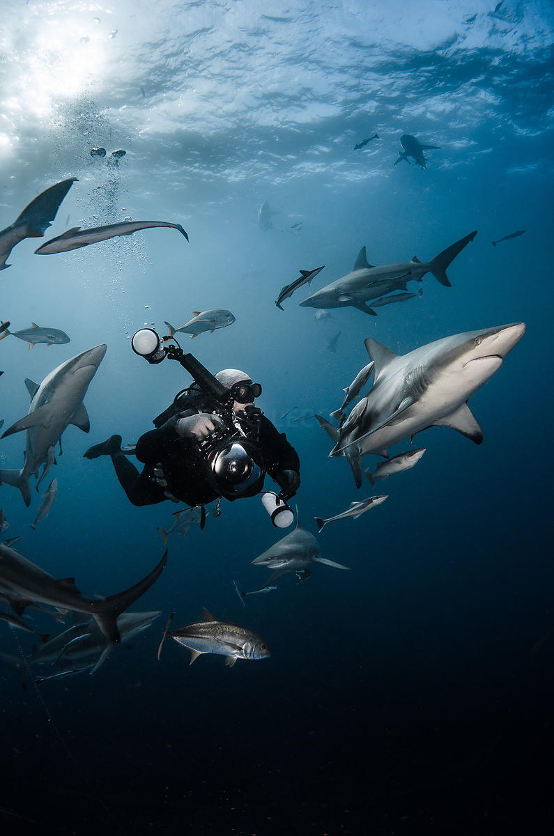 Shark diving with oceanic black tip shark (Carcharhinus limbatus) in Aliwal Shoal, South Africa