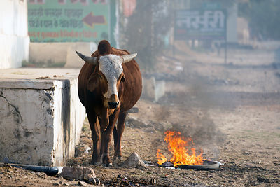 A cow stands over a fire on a roadside, Chawandiya village, Rajasthan, India