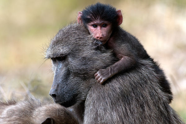 A baby chacma baboon from the Smitswinkel troop rides on its mother's back, near Gumshoes, Cape Peninsula, South Africa