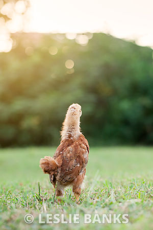Baby Chick in the Grass