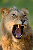 Lion yawns and displays dangerous teeth with fierce eyes