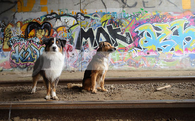 two tricolor dogs at train tracks with colorful urban graffiti