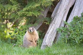 February - Yellow-bellied Marmot