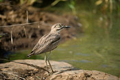 Water thick-knee, Burhinus vermiculatus, Kruger National Park, South Africa