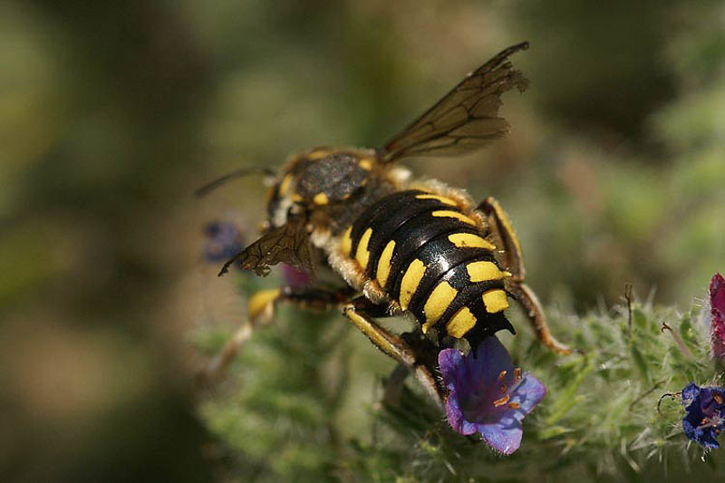 Anthidium florentinum