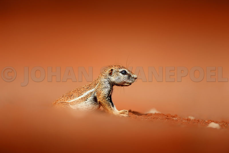 Ground squirrel on sand dunes at low angle
