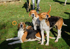 Belvoir foxhounds at the meet. The Belvoir Hunt at Debdale Farm 10/11