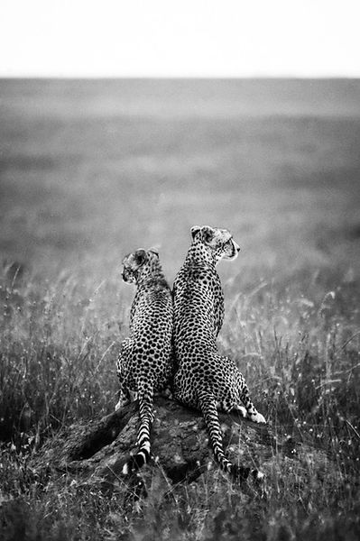 09158-Cheetah-For_Life_Tanzania_2018_Laurent_Baheux
