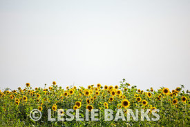 Field of Sunflowers against the sky
