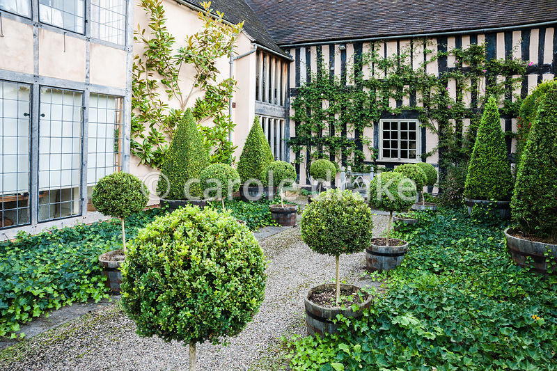 Courtyard beside C16th house with clipped box topiary and ground cover ivy. Wollerton Old Hall, nr Market Drayton, Shropshire...