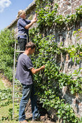 Heather Alford, head gardener, with husband Nigel, pruning the espaliered fruit on the exterior wall of the garden. Clovelly ...
