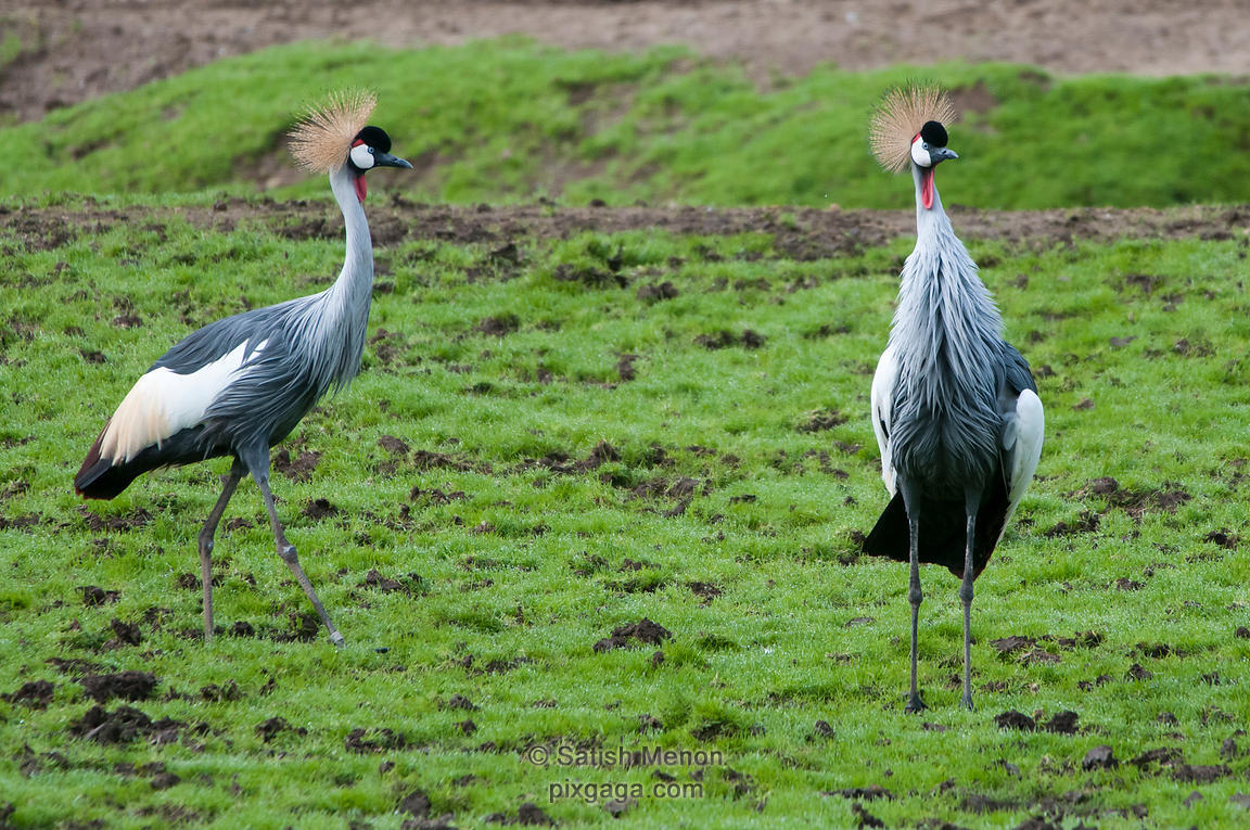 East African Crowned Cranes