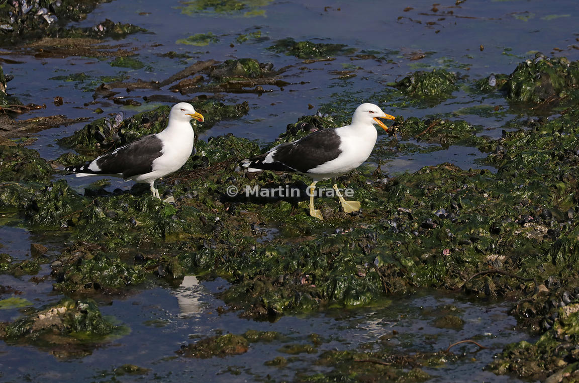 Two Kelp Gulls (Larus dominicanus) feeding in seaweed and mussel bed; right hand one has a crab in its bill. Ushuaia, Tierra ...