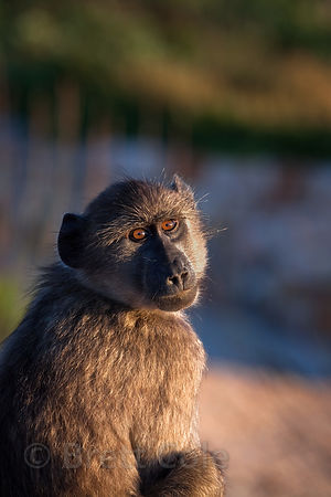 Chacma baboon from the Buffels Bay troop sunning itself at sunrise, Buffels Bay, Cape Peninsula, South Africa